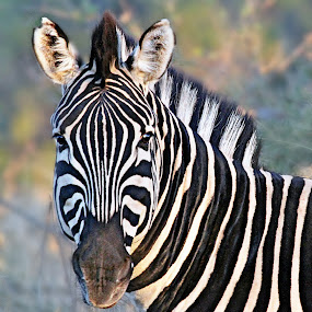 Zebra Portrait by Pieter J de Villiers - Animals Other ( animals, colt, south africa, zebra, portrait, mapungubwe game reserve,  )