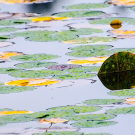 Standing Out by Cory Bohnenkamp - Nature Up Close Water ( water, standing_out, autumn, leaves, lily pads, fall, color, colorful, nature )