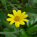 Bay Biscayne Creeping-oxeye