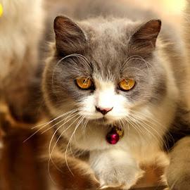 Graycie by Hari Kristianto - Animals - Cats Portraits