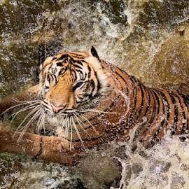 Swimming.. by Ubayoedin As Syam - Animals Lions, Tigers & Big Cats