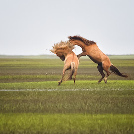 Territorial  by Kim Wilhite - Animals Horses ( equine, stallions, horses, obx, outer banks, fine art photography, equine art, horse art, carrot island, wild horses, north carolina )