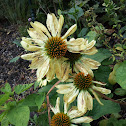 Harvest Moon Coneflower
