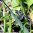Great Blue Skimmer dragonfly (adult female)