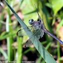 Great Blue Skimmer dragonfly (adult female)