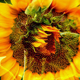 Doubled Sunflower. by Steve Cooper - Nature Up Close Gardens & Produce ( petals, green, seeds, symmetry, yellow )