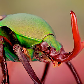 Eudicella  by Sergio Frada - Animals Insects & Spiders ( portrait coleoptera )