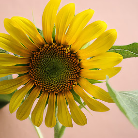 Raising SunFlower by Pablo Barilari - Flowers Single Flower ( sunflowers, sunflower, sun, yellow flower, flower, yellos )