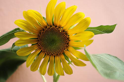 Raising SunFlower by Pablo Barilari - Flowers Single Flower ( sunflowers, sunflower, sun, yellow flower, flower, yellos )