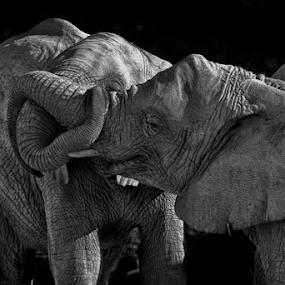 Elephants by Cristobal Garciaferro Rubio - Black & White Animals ( elephants, elephant, young elephants )