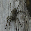Fishing Spider, female