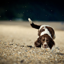 Springer by Jim Brokensha - Animals - Dogs Running ( #GARYFONGPETS, #SHOWUSYOURPETS,  )