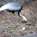 White-Neck Crane