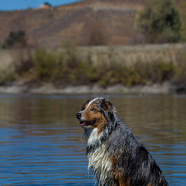 Cooling Off  by Janice Carabine - Animals - Dogs Portraits ( cool, water, splash, lake, dog )