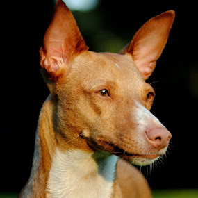 by Oniram Reivar - Animals - Dogs Portraits ( looking, red, podenco, stairing, sun )