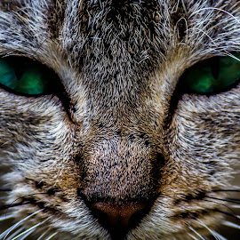 Devil's eyes by Rohan RM CF - Animals - Cats Portraits ( cat, ferocious, green, devil, animal, eyes )