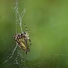 Spider (with butterfly)