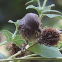 House Finch      female
