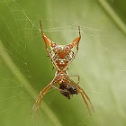 Arrow-shaped (horned) spider