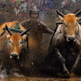 Pacu Jawi by Edwin Prajusa - News & Events Sports