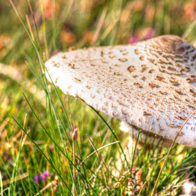 Parasol in heather by Brian Miller - Nature Up Close Mushrooms & Fungi ( mushroom, fungi, wales, parasol, heather )