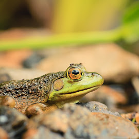 Frog Focus by Roberta Janik - Animals Amphibians ( stream, frog, amphibian, small rocks, wetland creatures, animal )