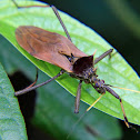Spined assassin bug