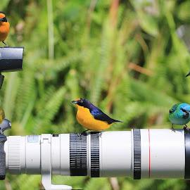 Gaturamosx saíra azul by Itamar Campos - Animals Birds ( tanager, saíra azul femea, gaturamo male, blue dacnis female, gaturamo female )