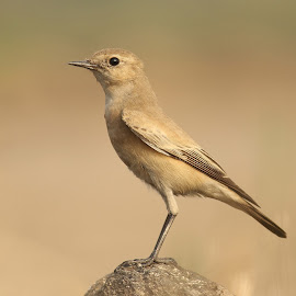 The Desert Wheatear (Oenanthe deserti) by Aditya Salekar - Nature Up Close Hives & Nests ( #birding )