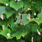 Indian golden orb-web spider