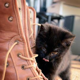 Big as a shoe by Cassandra G - Animals - Cats Kittens ( shoes, cats, kitten, cat, animals, black cat )