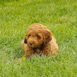 by Helen Bagley - Animals - Dogs Puppies ( cockapoo, outdoors, puppy, dog, portrait )