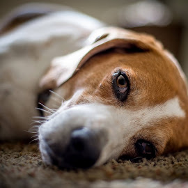 Let Sleeping Dogs Lie by Stuart Partridge - Animals - Dogs Portraits ( puppies, beagles, d600, puppy, beagle, nikon, dog )