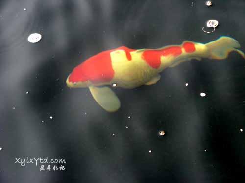 红白色锦鲤