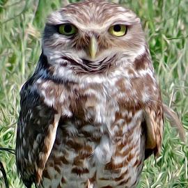 Burrowing Owl by Steven Aicinena - Digital Art Animals (  )