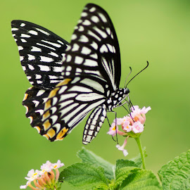 Butterfly - Common Mime by Sankar Singha - Animals Insects & Spiders ( butterfly, nature, wildlife )