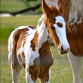 Standing on Your Own by Jennifer Earlston - Animals Horses ( baby, young, animal )