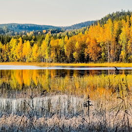 Colors of autumn by Ewa Nilsson - Landscapes Forests ( water, sweden, mountain, lapland, autumn, reflections, trees, forest, yellow )