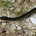 Peninsula Ribbon Snake