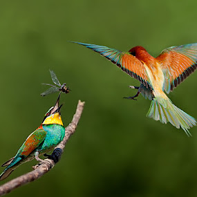 landing by Stefano Ronchi - Animals Birds