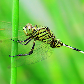 by Fentee  Affandy - Animals Insects & Spiders ( nature and wildlife, insect, dragonfly, animal )