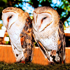 Owls by Andre Bez - Animals Other ( babies, bird of prey, owl, couple, birds )