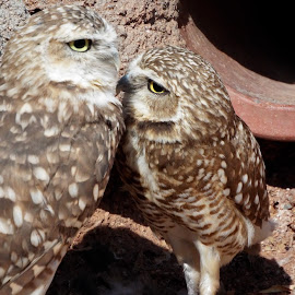 Burrowing Owls by Donna Probasco - Novices Only Wildlife (  )