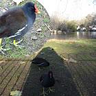 Gallinula chloropus. Polla gris, polla de agua, pollona negra, gallineta, gallareta común (en el Perú), tiqui o taca-taca