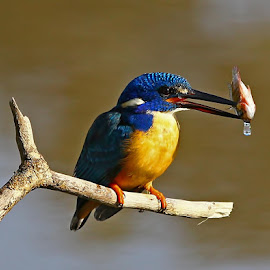 Half-collared Kingfisher  Alcedo semitorquata  by Chris Krog - Animals Birds ( blue, collared, kingfisher, half )