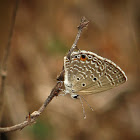Plains Cupid (Butterfly, फुलपाखरू)