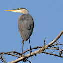 great blue herron (female)
