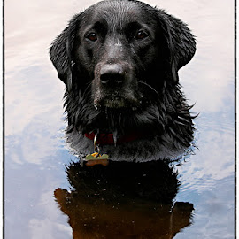 Hitch by Pam  Kipper Gabriel - Animals - Dogs Portraits ( canine, water, labrador retriever, black lab, dog, black labrador,  )
