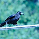 American Crow, Common Raven,