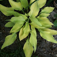 Hostas of the Southeastern States